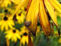 snail on cone flower petal
