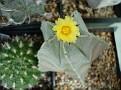 Astrophytum myriostigma v. strogilogonum