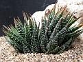 Haworthia fasciata Bakenriver Walmer NWW  Port Elizabeth IB 8615 CG 348