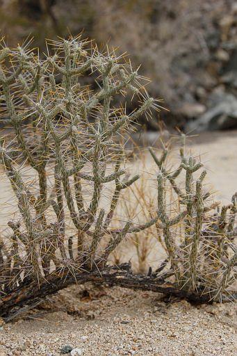 pencil cholla cactus