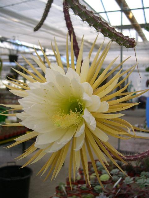 Selenicereus grandiflorus ssp. lautneri