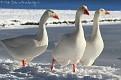 snowy whites