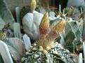 Astrophytum hybrid cv. V-pattern Japanese OOIBO selection