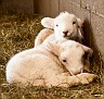 S12 Lambs-25