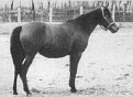 AIRE #1028 (Ali x *Raira, by Rustana) 1929 bay mare bred by Guilherme Echenique Jr; imported to the US 1934 by General JM Dickinson/ Travelers Rest. Produced 10 registered purebreds.