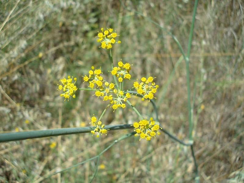 Foeniculum - Μάραθο (2)