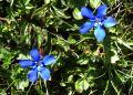 8339-Spring-Gentian