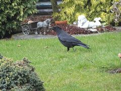 Corvus frugirgus