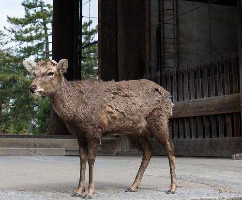000 nara deer2
