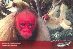 Brazil - RED-FACED MONKEY NA