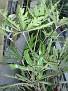 Schefflera elegantissima (Aralia)