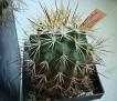 Turbinicarpus horripilus SB168 Metztitlan Hgo. Mexico