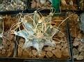 Astrophytum capricorne -White spines