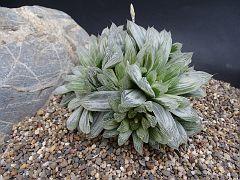 Haworthia cooperi v. pilifara fa. variegata