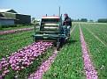 Tulip cutter, Noordwijkerhout