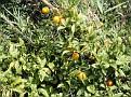 Naranjas en Albánchez