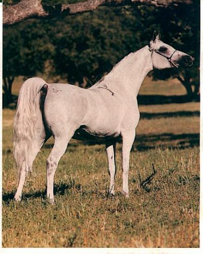PENICYLINA #309834 (Palas x Pentoda, by *Bandos) 1976 grey mare bred by Janow Podlaski; imported to the US 1984 by Lasma. 1986 US National Champion Mare
