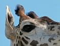 giraffeeye2.jpg