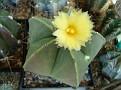 Astrophytum myriostigma nudum