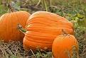 Pumpkins in the Field