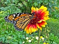 MonarchButterfly007