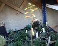 Aloe ankoberensis