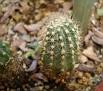 Echinopsis hybrid ' Brunhild '