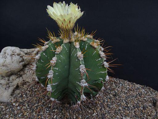 Astrophytum capricorne v. niveum fa. nudem