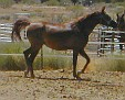 MA RAMSES ALIYA #572216 (Hehtif x Ramses Kora, by *Lancers Sahm) 1999 chestnut mare