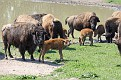 Bison and Calves #2