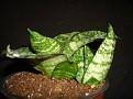 Sansevieria trifasciata 'Hahnii'