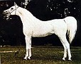 ANSATA IBN HALIMA++ #15897, 1958 grey stallion (Nazeer x Halima, by Sheikh El Arab) Sired 310 registered purebreds