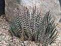 Haworthia attenuata (clariperla) Port Elizabeth
