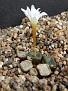 Conophytum cubicum Eksteenfontein