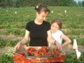 Picking strawberries at farm near Heilderberg