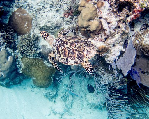 hawksbill turtle camouflaged in the coral