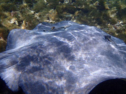 horseshoe ray