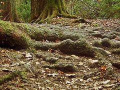 Knorrige Wurzeln auf Felsen