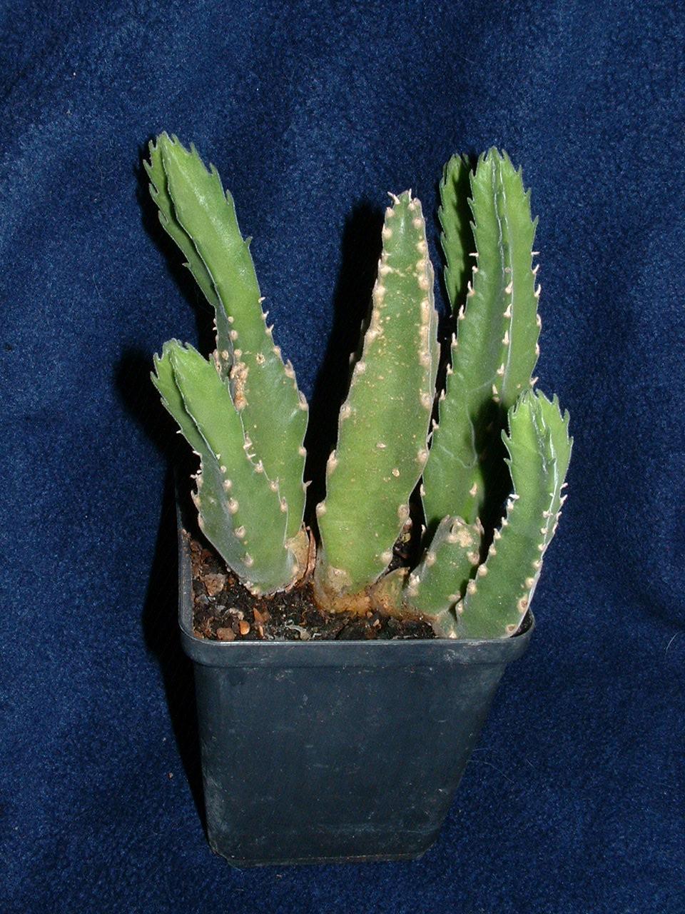 Stapelia Grandiflora #1 070613 01