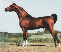 GA KHREATION #289531 (Khemosabi++++// x Chantilly Rose, by Gamaar) 1983 bay stallion