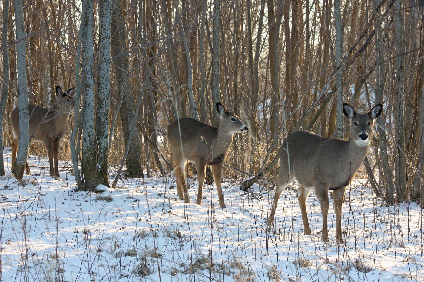 Deer 2013 #6