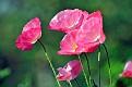 Маки Poppies DSC7125 2