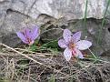 Crocus cartwrightianus (4)