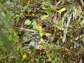 Ophrys melena (11)