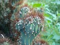 Cereus (6)