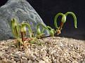 Mitrophyllum roseum Naroegas