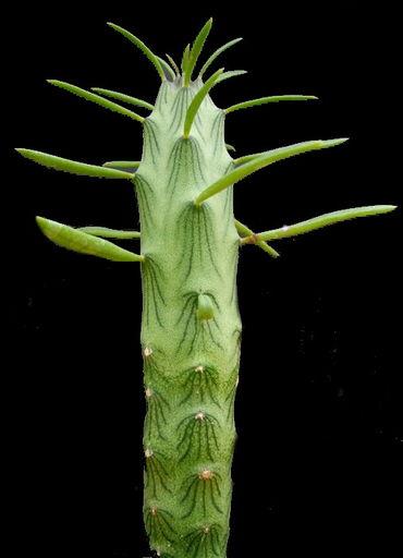 Kleinia Cephalophora w