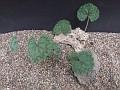 Pelargonium barkleyi