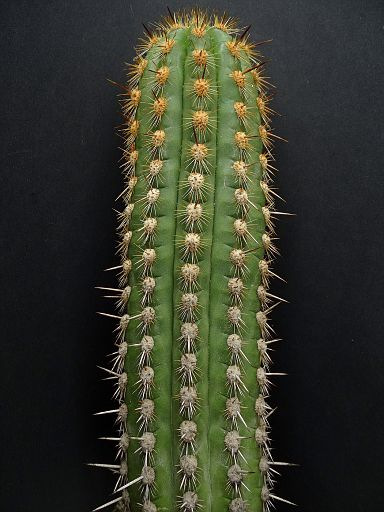 Arrojadoa rhodantha