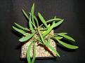 Euphorbia gottlebei hybrid